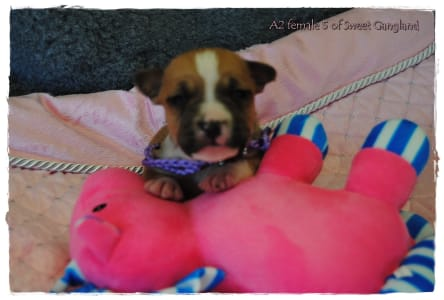 American Staffordshire Terrier - Apple Of Sweet Gangland