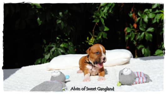 American Staffordshire Terrier - Alvin Of Sweet Gangland