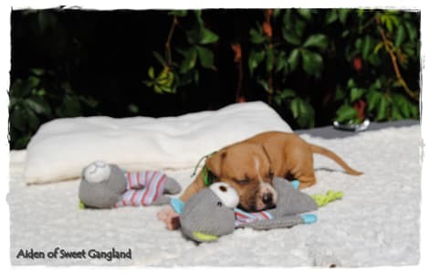 American Staffordshire Terrier - Aiden Of Sweet Gangland