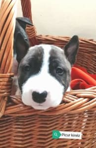 Bull Terrier - Picur
