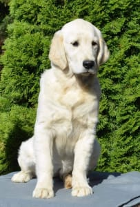 Golden Retriever - Scarlett