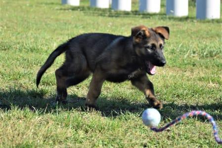 German Shepherd Dog - Kyra