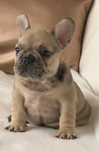 French Bulldog - Thug Life Moszkva