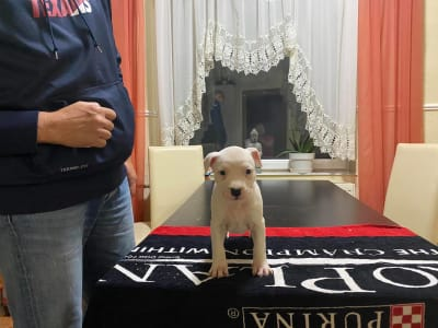 American Staffordshire Terrier - Stacy Of Fianna Team