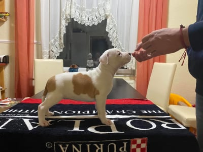 American Staffordshire Terrier - Lacey Of Fianna Team