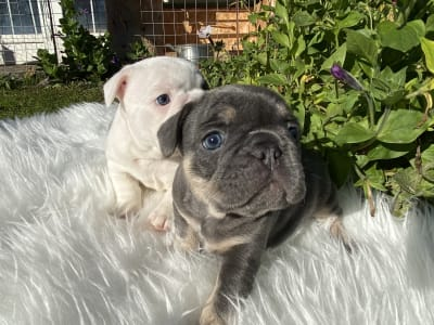 French Bulldog - Sugar