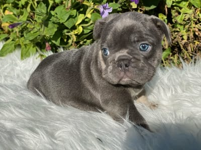 French Bulldog - Sherri
