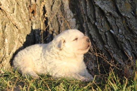 Maremma and Abruzzes Sheepdog - Marco