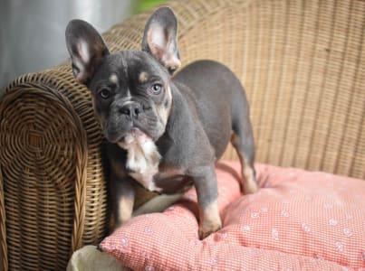 French Bulldog - Peggy