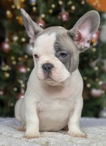 French Bulldog - Diamonds From Hektor Gaston