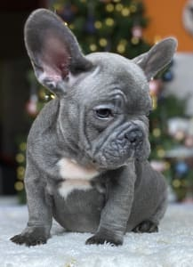 French Bulldog - Diamonds From Hektor Graham