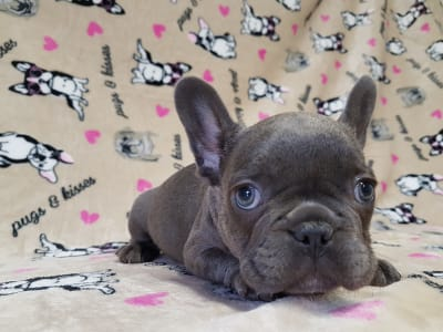 French Bulldog - Zafír