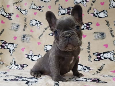 French Bulldog - Aranyos