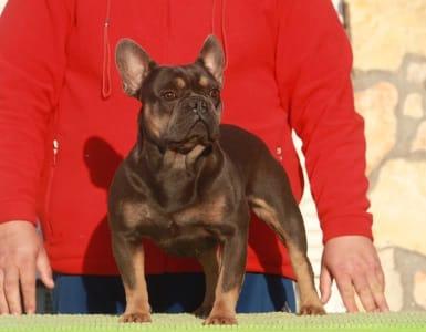 Francia bulldog - Walter