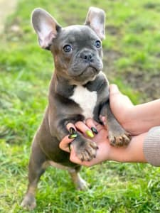 French Bulldog - Rayan