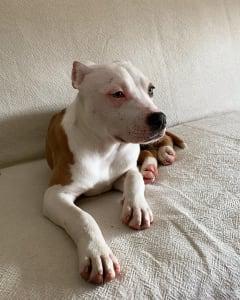 Amerikai staffordshire terrier - Dambo