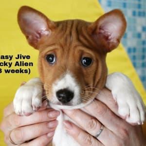 Basenji - Easy Jive