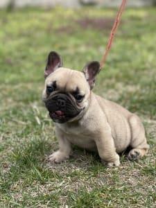 French Bulldog - Minnie