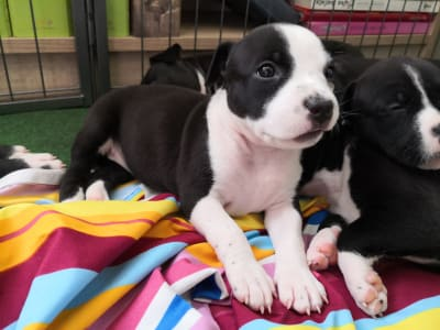 American Staffordshire Terrier - Buttercup