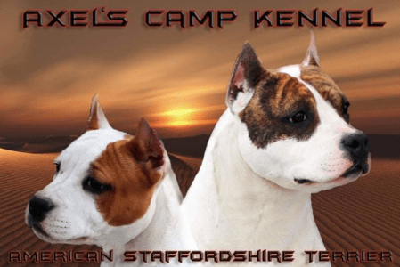 American Bully - Classic - Axels Camp