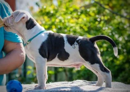 American Staffordshire Terrier - Cortez Junior Of Sweet Gangland