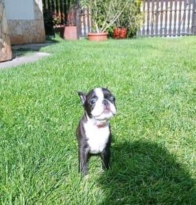 Boston Terrier - Odett