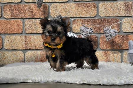 Yorkshire Terrier - Spirit Of The Magic