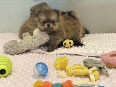 German Pomeranian Spitz - Cheerful Life Bella