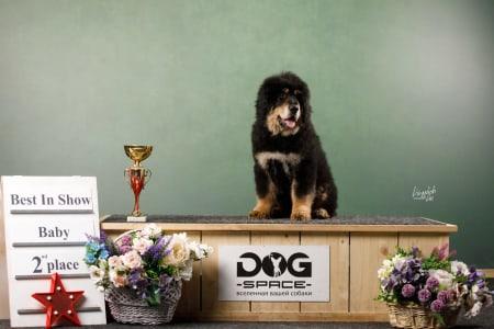 Mastiff Tibetan - Barny