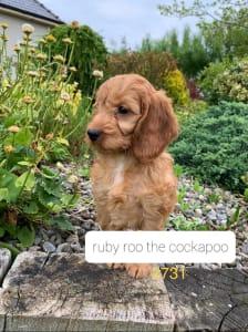 Кокер-пудель - Ruby Roo The Cockapoo