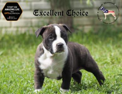 Staffordshire Terrier américain - Artis Excellent Choice