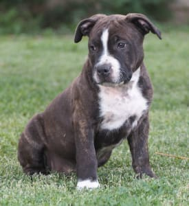 American Staffordshire Terrier - Artis Staff Ever Blazin
