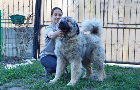 Кавказская овчарка - Maya Russtil K.o.