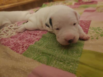 Dogue argentin - Becca Valiente Cazador Blanco