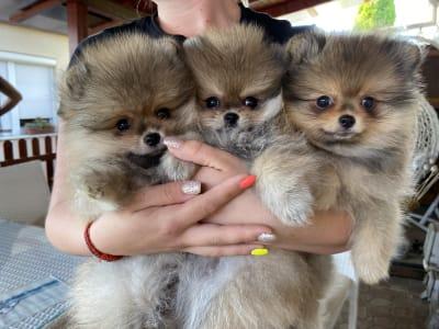 German Pomeranian Spitz - Cheerful Life Bubu