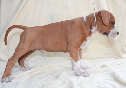 Staffordshire Terrier américain - Arsene Lupin Of Amstaff Planet