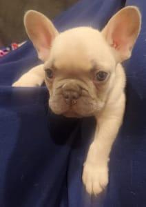 Bulldog francez - Thor