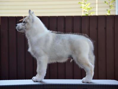 Husky de Sibérie - Siberian Legacy Simply The Best