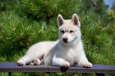 Siberian Husky - Siberian Legacy Sunlight