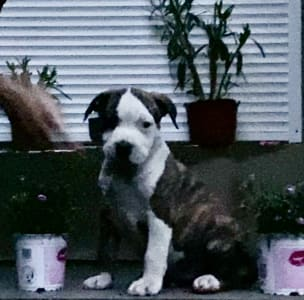 Staffordshire Terrier américain - Phillip