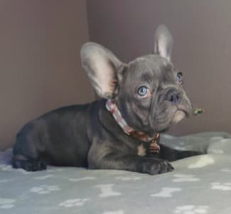 Bulldog francese - Jenny