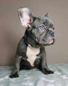 Francia bulldog - Bob