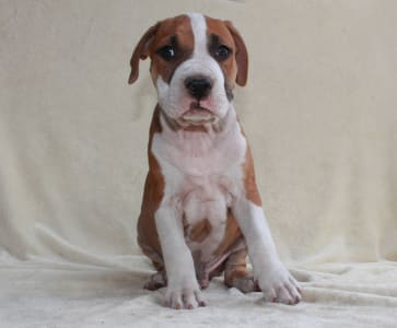 Staffordshire Terrier américain - Al Pacino Of Amstaff Planet