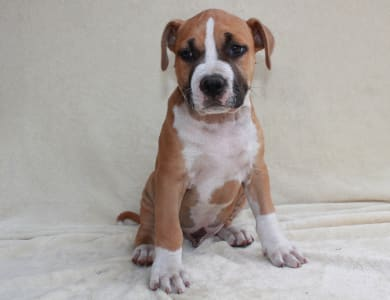 American Staffordshire Terrier - Abraham Lincoln Of Amstaff Planet