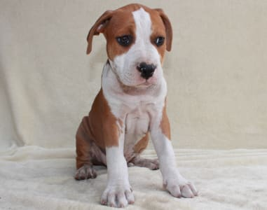 Staffordshire Terrier américain - Andrea Bocelli Of Amstaff Planet
