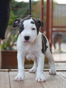 American Staffordshire Terrier - Playboy From Serendipity Staff
