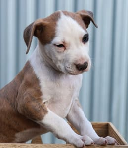 Amerikai staffordshire terrier - Metaxa Of Overdose
