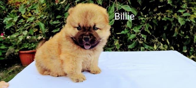 Chow Chow - Billie