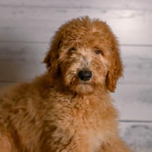 Goldendoodle - Buddy