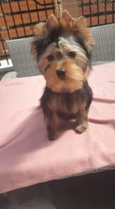 Yorkshire Terrier - Jerry
